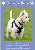 "West Highland White Terrier-Happy Birthday - ""I'm Adopted"" Theme"